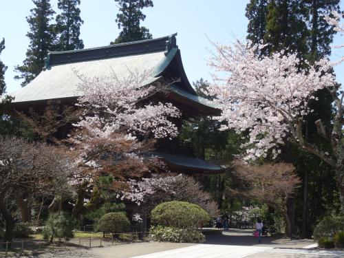 円覚寺山門の桜