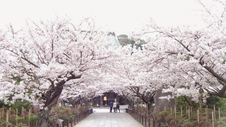 建長寺の満開時の桜