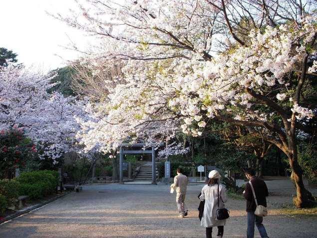 葛原岡神社鳥居前の桜
