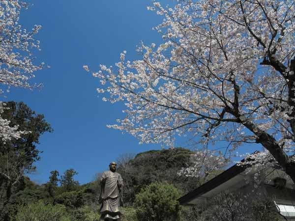 妙本寺の日蓮像周辺の桜