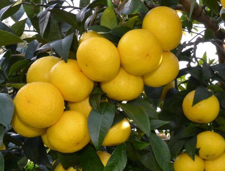 上品な香りが特徴の神奈川西部発のゴールデンオレンジ☆湘南ゴールド